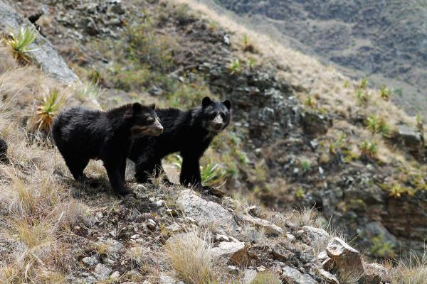 Spectacled bear captive tourists in Machu Picchu